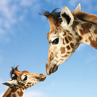 "Greetings Card ""Giraffe and Calf"" by Wild At Heart"