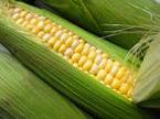 Corn on the Cob ~ Organic