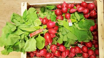 Radish ~ Organic