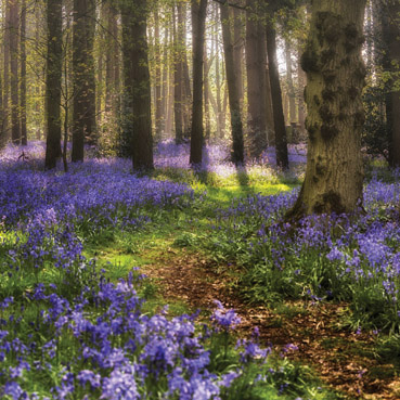 """Greetings Card """"Bluebell Forest """""""